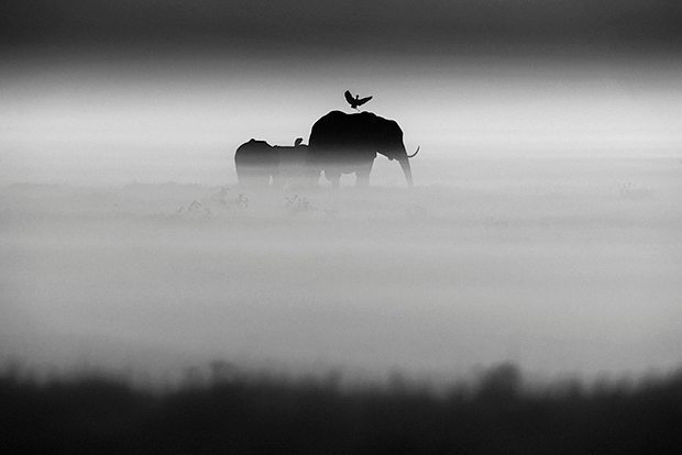 Elephants and a bird wander together through early morning #fog in #Kenya. Photographed by… https://t.co/vgK8RYgMRy https://t.co/RAMLtxZ9kB