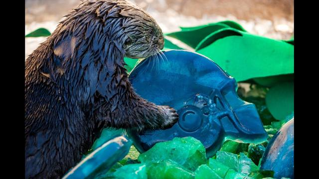 Sea otters at the @MontereyAq got a super-sized treat OtterBowl animals SuperBowl50