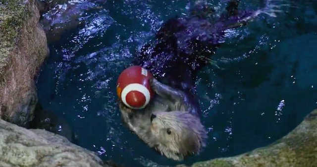 The Long Beach Aquarium's Otter Bowl Will Be Cuter Than The Puppy Bowl