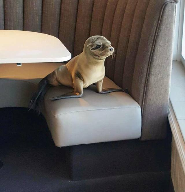Starving Sea Lion Pup Found Sleeping In Booth Of Swank Restaurant