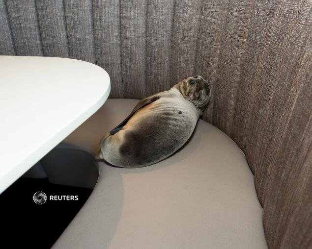 Sick sea lion found sleeping in California restaurant booth