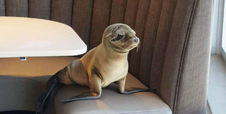 Hungry sea lion has a taste for fine dining
