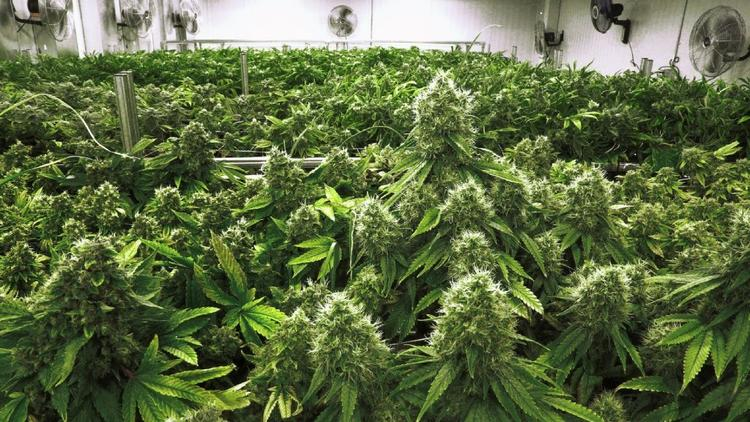 5 Chicago-area employers pledge not to fire workers for using medical marijuana