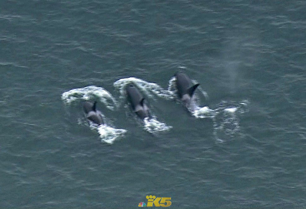 So cool >> the orcas are cruising around Elliott Bay right now, off West Seattle