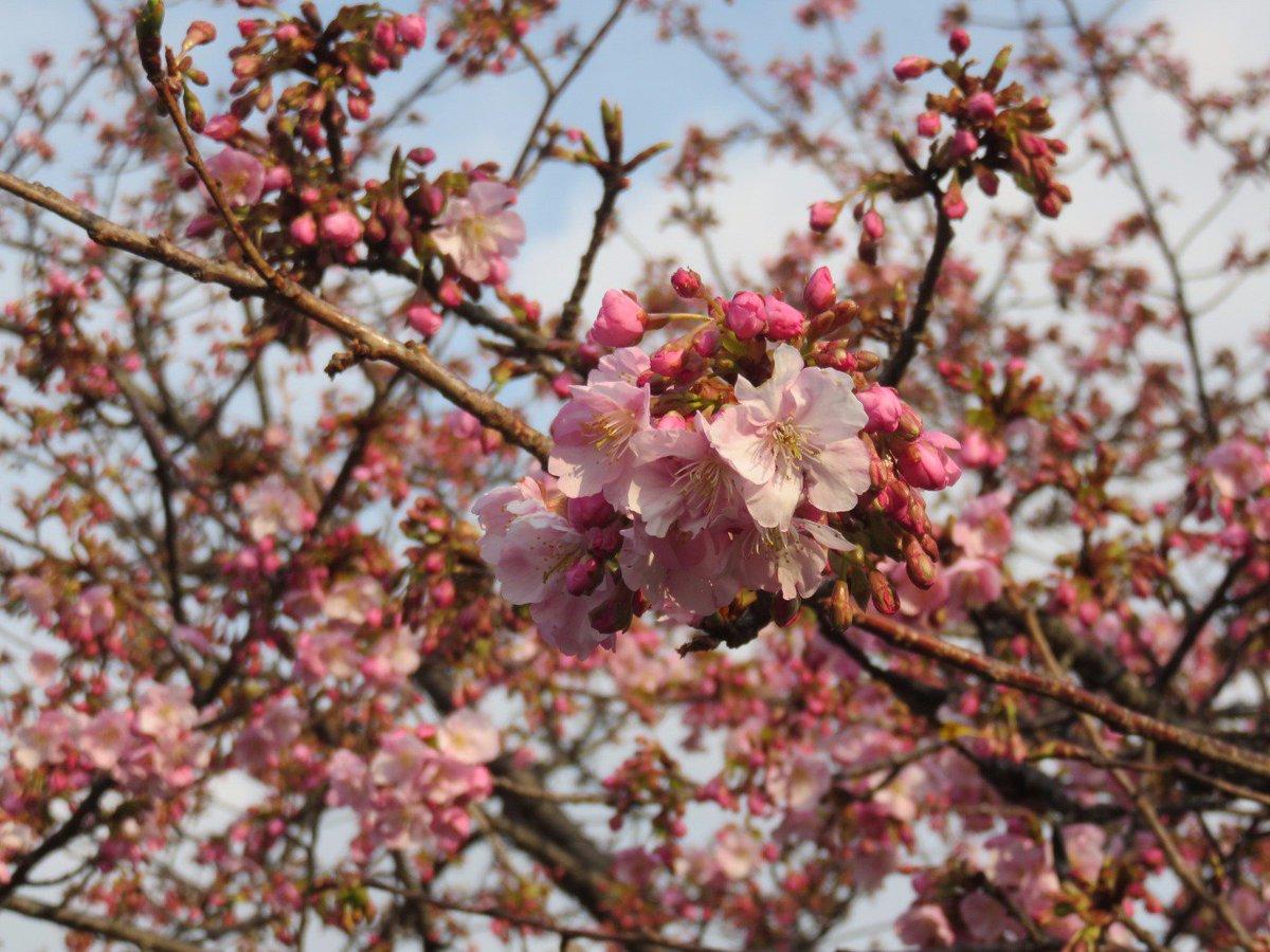 江ノ島の河津桜が咲き始めました