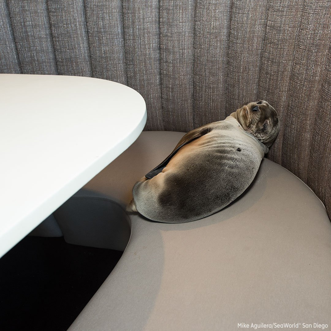 Sea lion pup wanders into seafood restaurant and makes herself at home
