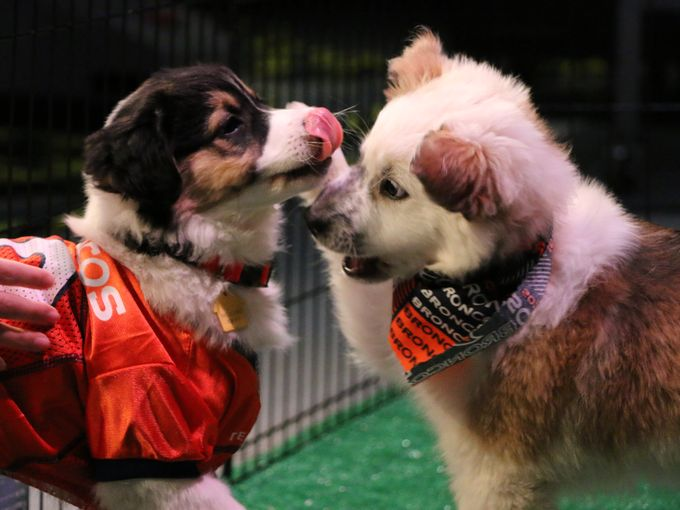 Rescue dogs take the field for 9NEWS Puppy Bowl