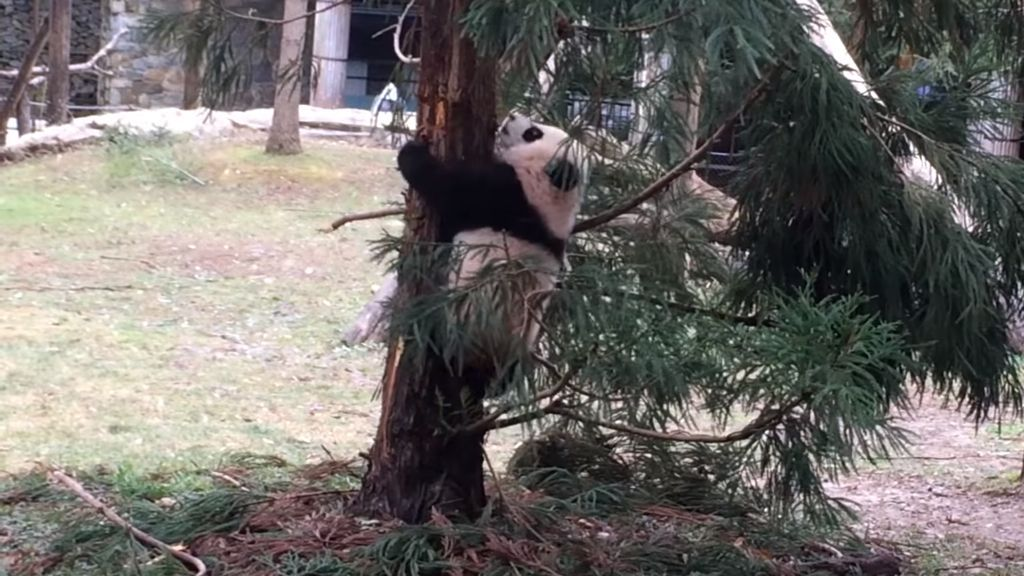 Bei Bei went outside for the first time this week and tried to climb a tree.