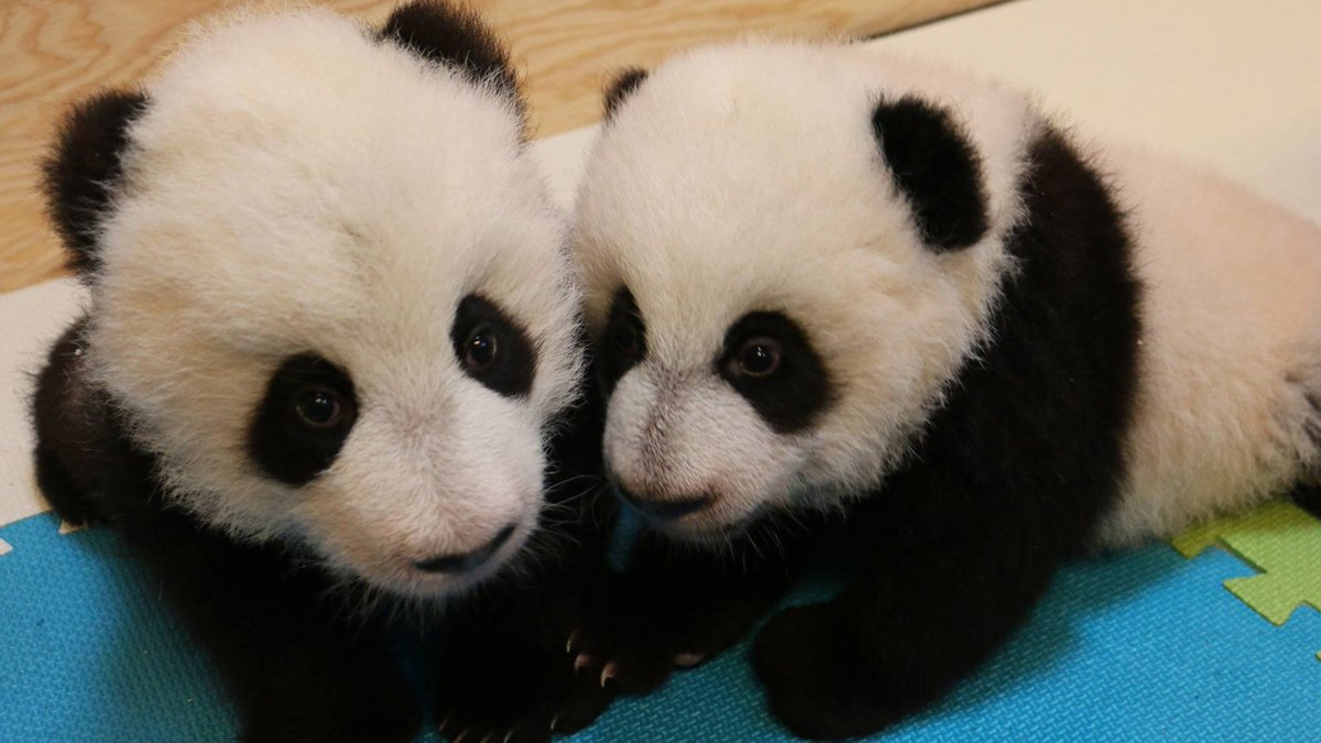 It's a boy! And a girl! Toronto zoo reveals sex of panda cubs