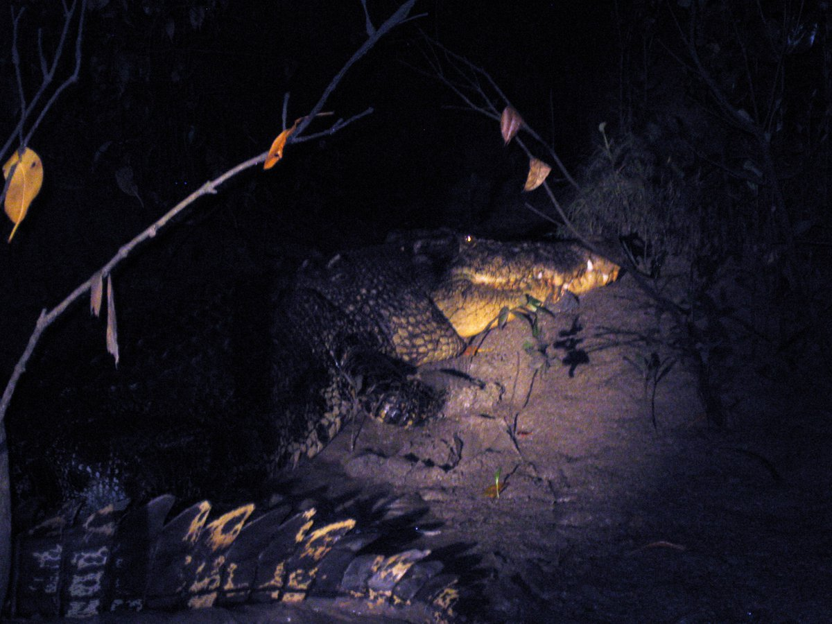 この時のワニが以前にも載せたこの写真。初めて見た野生ワニの5メートル超個体で、暗闇に浮かび上がるその姿はとても威厳があった。きびしい自然の中で齢を重ねたその風格は龍か神獣のようだった。きっとかなりの老齢だったと思う。