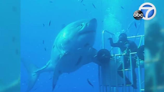 DeepBlue, world's largest shark, recorded off coast of Mexico