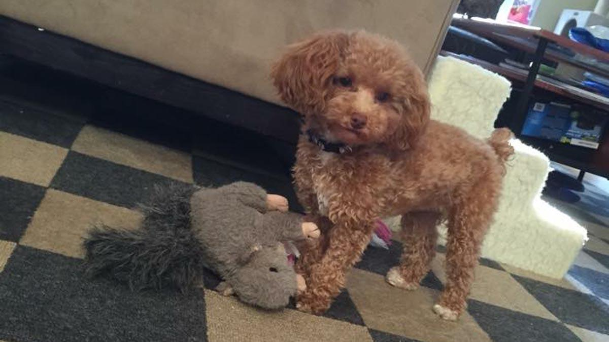 Maryland couple sues kennel after toy poodle puppy is killed by another dog -->