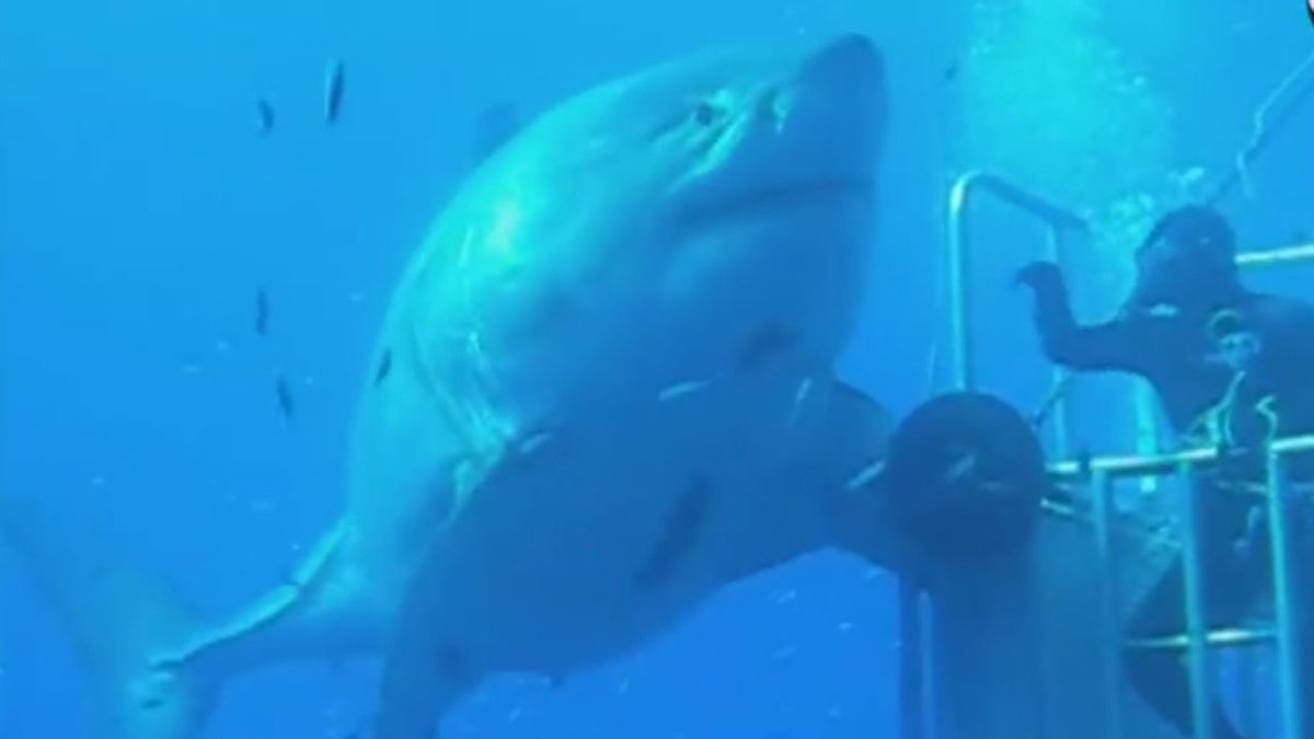 Deep Blue: World's largest shark recorded off coast of Mexico. Read more--> abc13