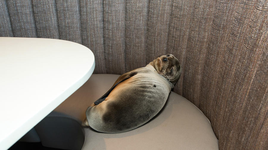 Sea lion pup recovering after wandering into La Jolla restaurant and sleeping in a booth