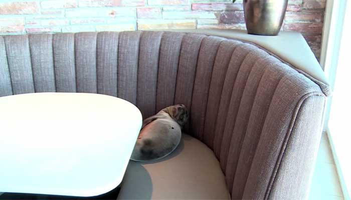A sea lion walks into a restaurant...No, seriously. That's not a joke. >>