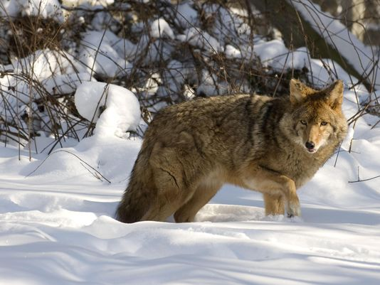 Numerous coyote sightings reported in Troy