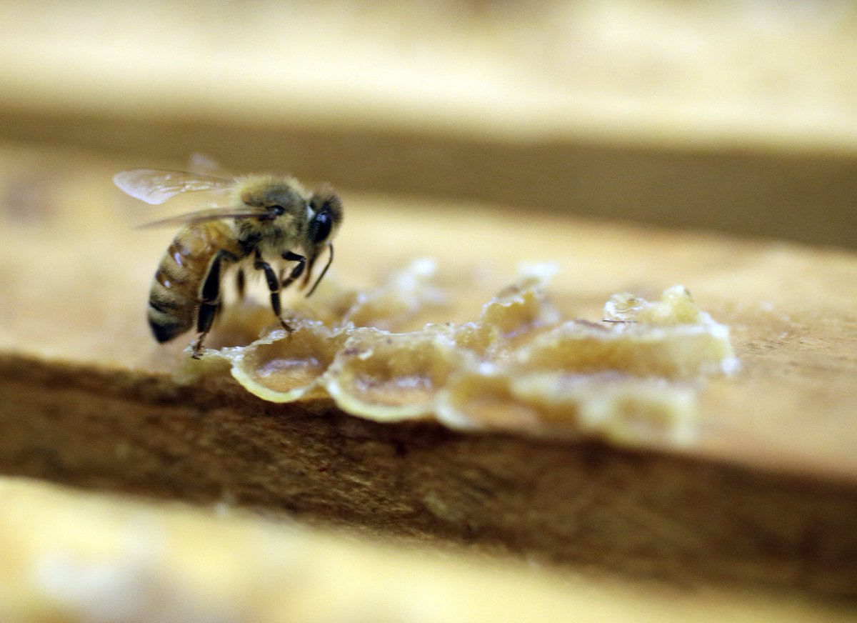 Virus killing honeybees aided by humans: