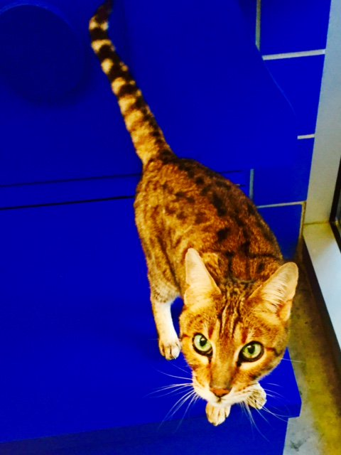 This is Rajah. He is an Ocicat. Today's Pet of the Work is a very personable. Check out his sparkling eyes.