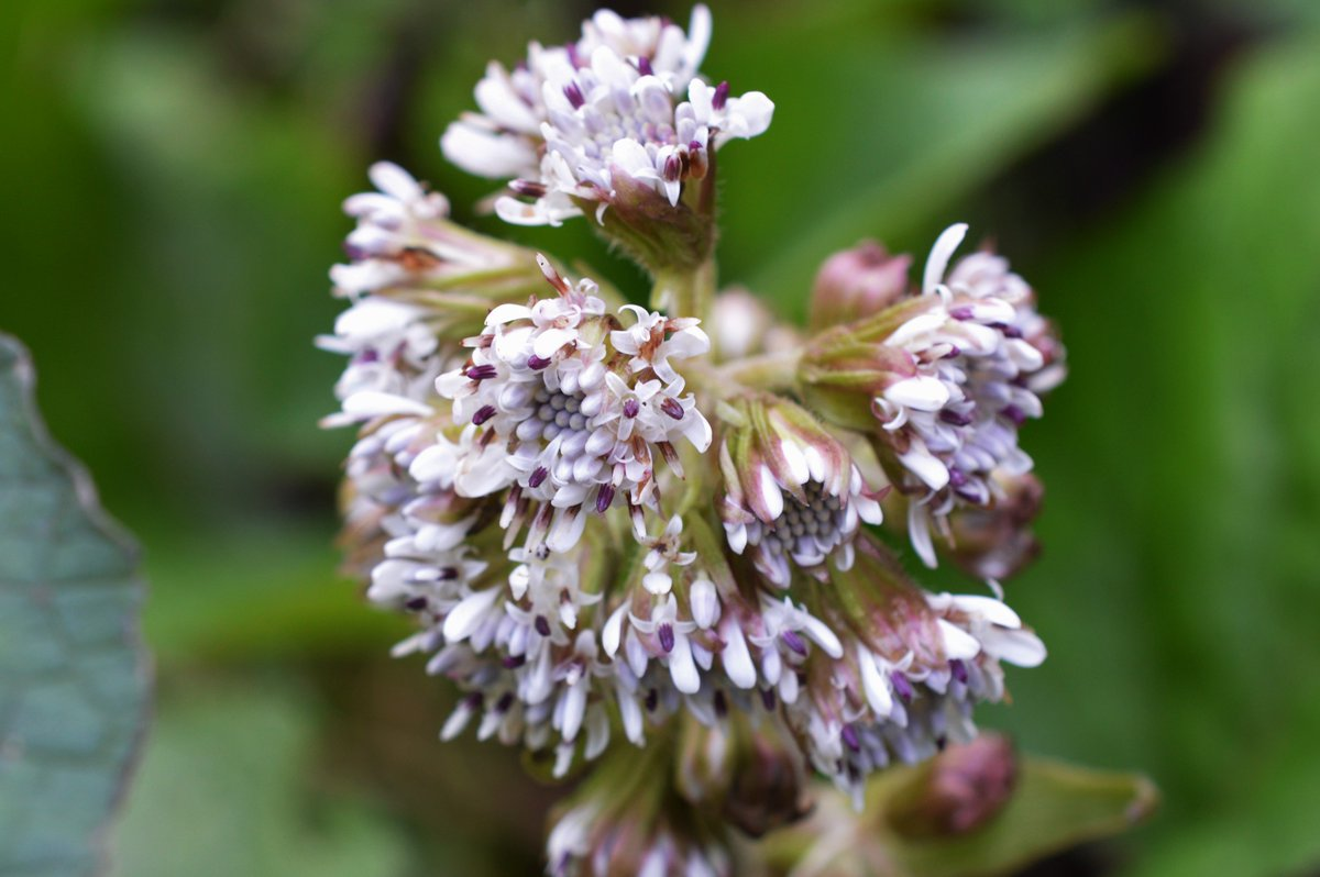 Winter Heliotrope (Petasites fragrans) - Crooke Lane, Co. #Waterford - @BSBIbotany @fennelandfern #wildflowerhour https://t.co/gRMyA5IJWp