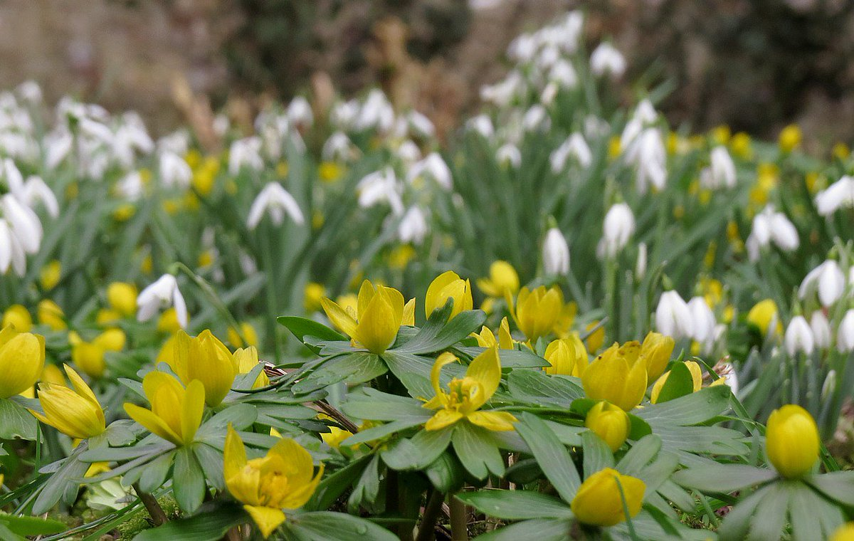 Winter Aconite and Snowdrops Appleshaw Cemetery Hampshire #wildflowerhour https://t.co/xsBvxZ68EE