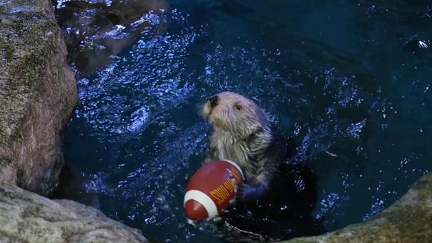 WATCH: Aquarium hosts second annual Otter Bowl on SuperBowl Sunday