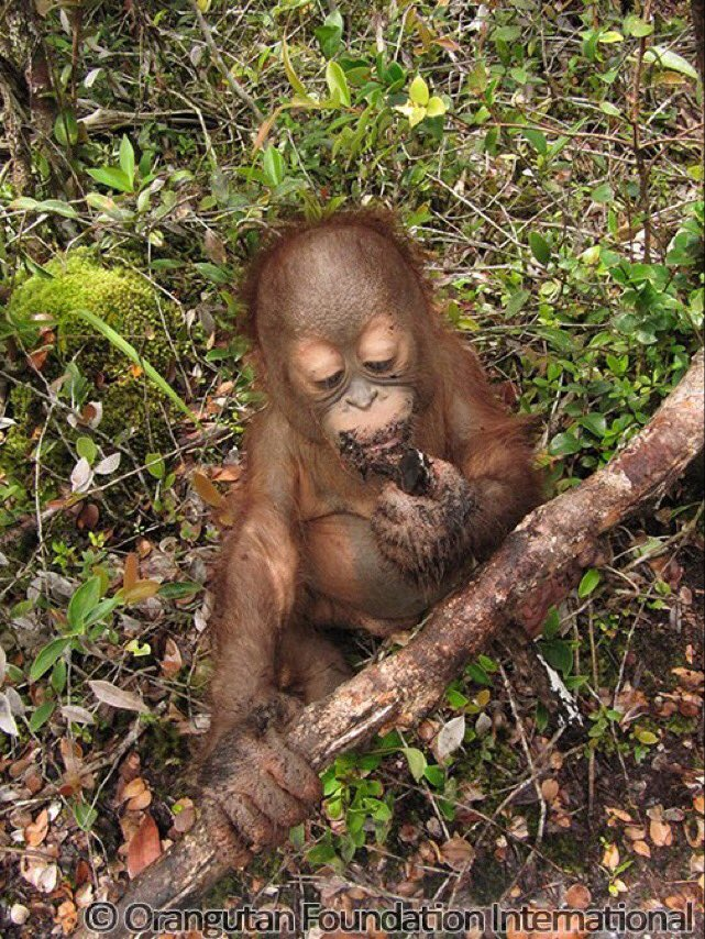 Sad @pepsi still doesn't use sustainable #PalmOil - destroying this guy's home:( Come on, Pepsi, be better #SB50 https://t.co/lH3TC1J9uL