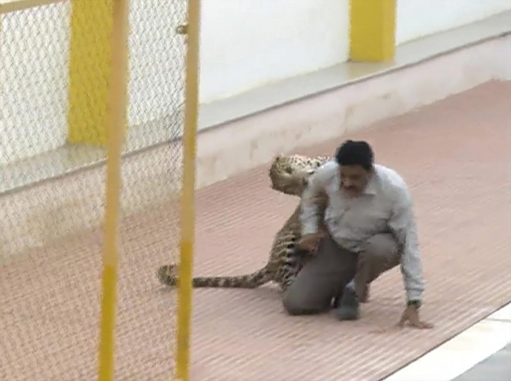 Leopard wanders into Indian school, injures 3.