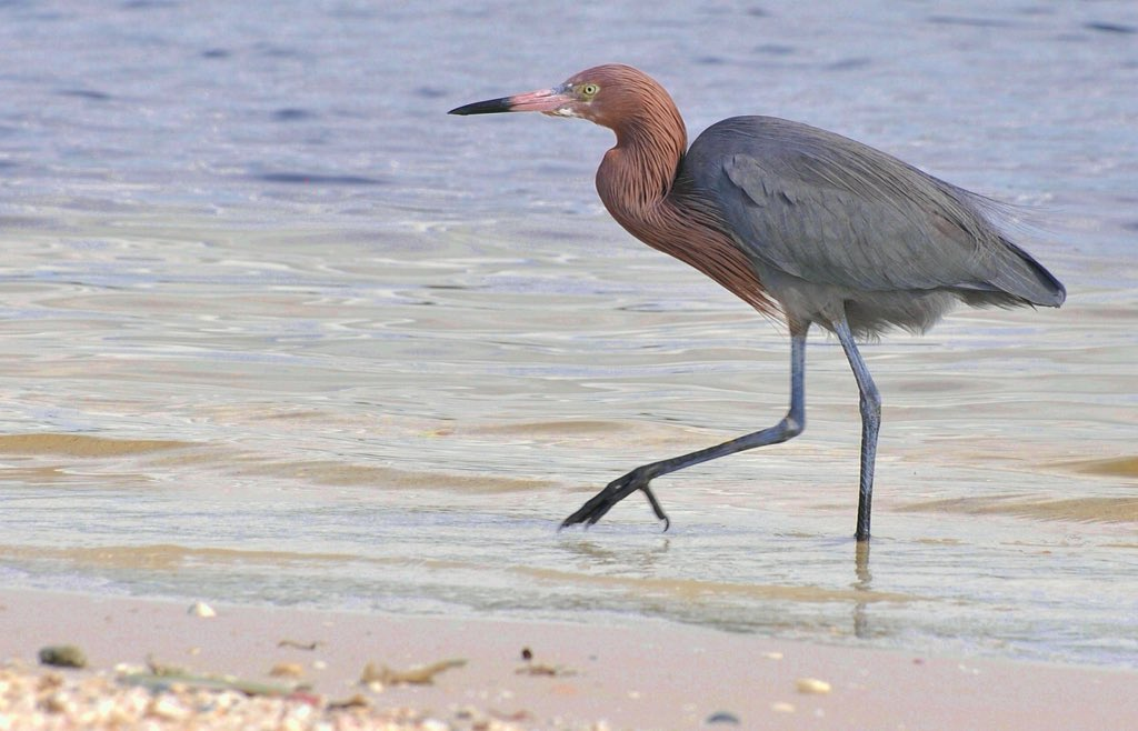 Don't often get a chance to get this close with rare reddish egret. #birdphotography @FtMyersSanibel https://t.co/LIw9FDDBUz