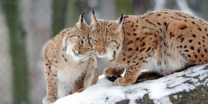 Le lynx bientôt réintroduit en Lorraine https://t.co/r6k7WvJuev ... quand je vois ce qu'on fait au loup ... https://t.co/0zhBZ3UHFJ