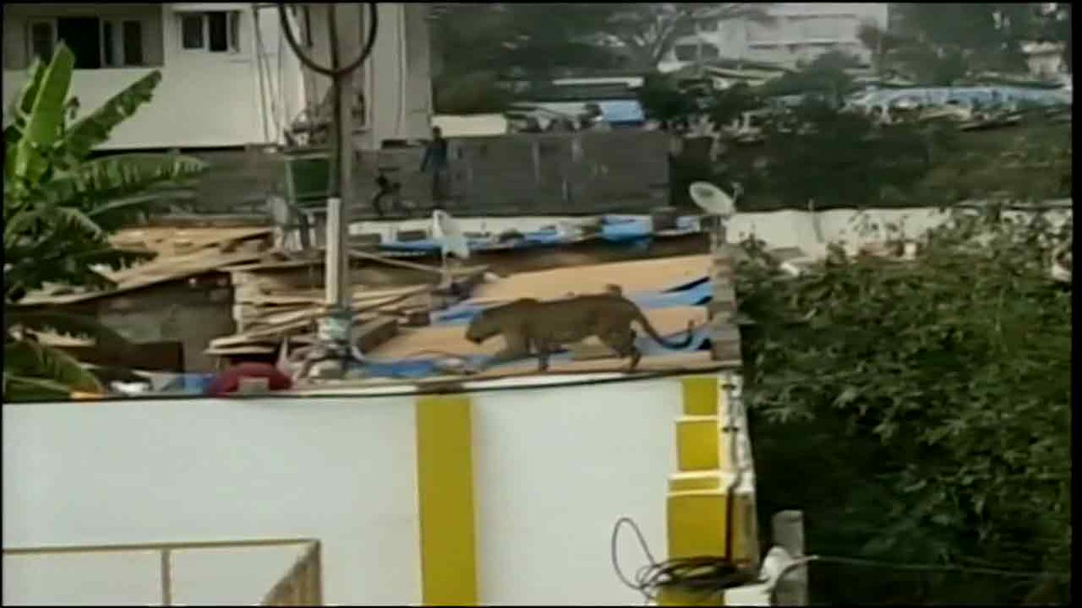 Leopard wanders into school in India; injures 3 as it tries to escape