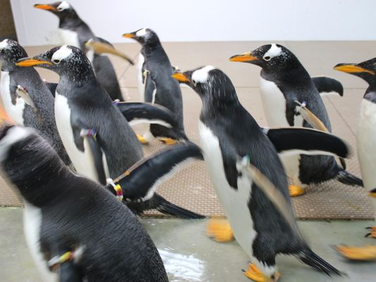 Love penguins? The @detroitzoo is seeking volunteers to staff the new penguin habitat