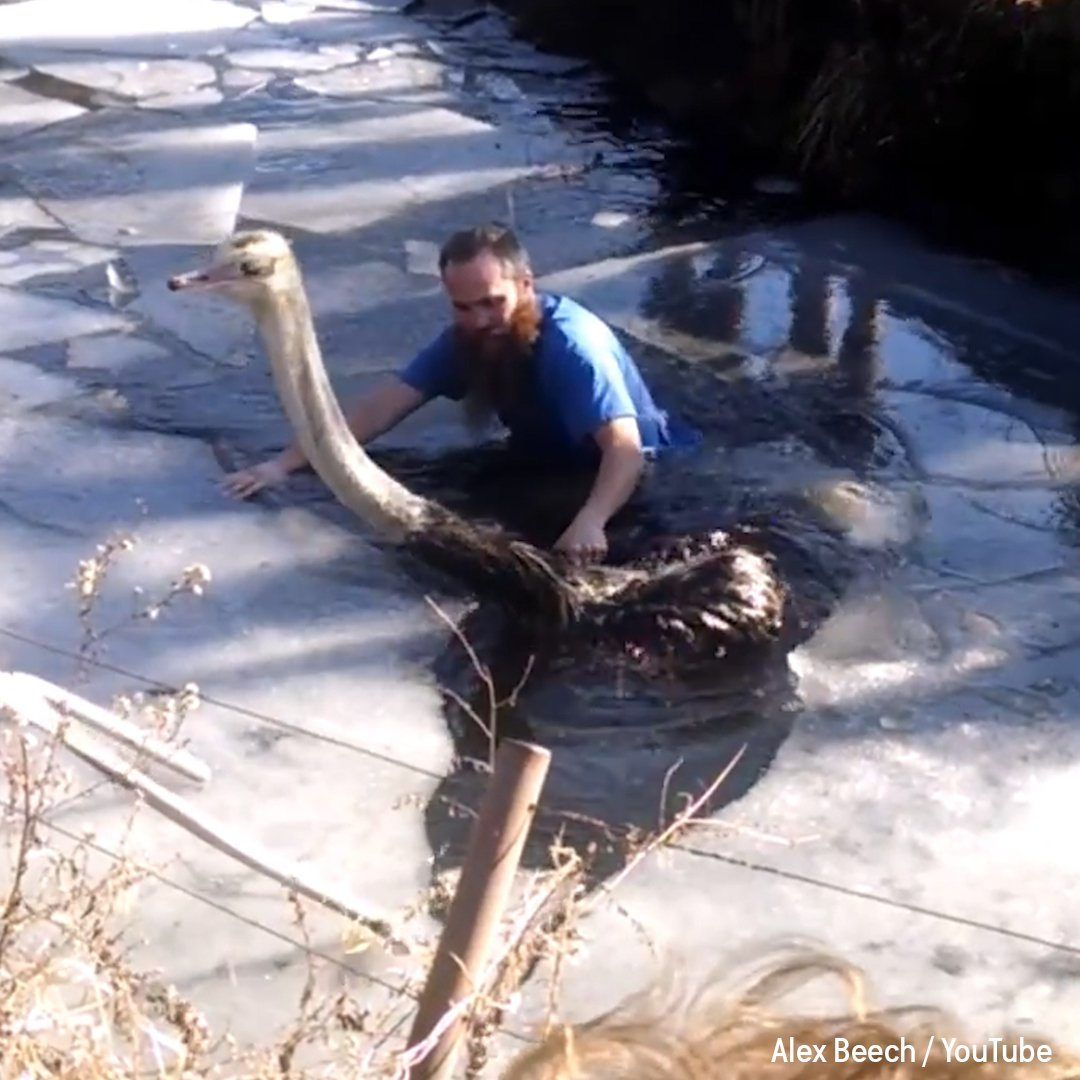 Zoo staff rescue ostrich from frozen pond …