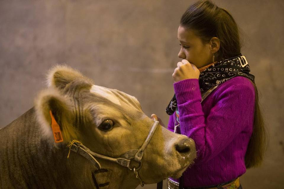 1. A tearful goodbye to a blind steer at the Fort Worth Stock Show STTop5