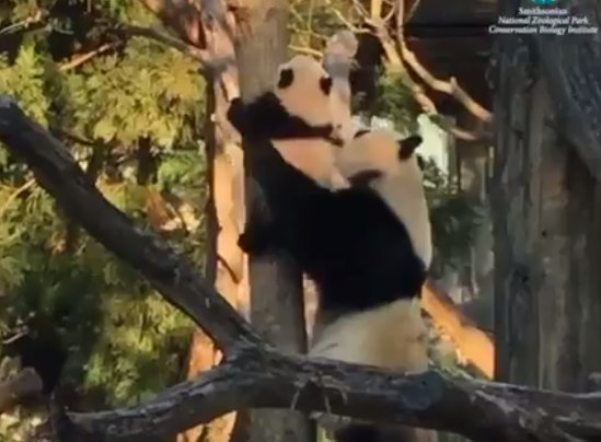 Bei Bei scaling a tree is exactly as adorable as you'd expect it to be.