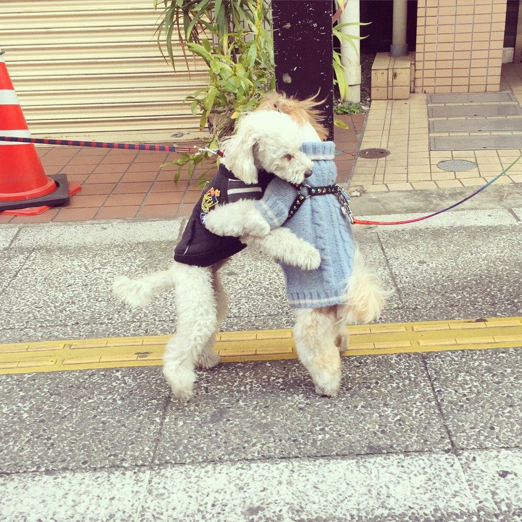 お散歩していた犬同士が出会って、ハグした、と思ったら相撲をとっていたよ。びっくりして飼い主さんを見ると「会うといつもなんですよ」と言っていた。しかも数分続けていた。かわいすぎか! pic.twitter.com/74hFj9XrJv