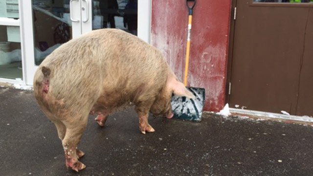 A large pig was found outside Pelham H.S. this morning while voting went on. 7News