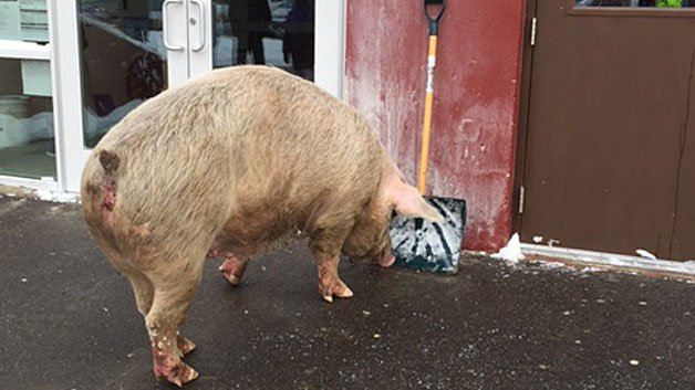 Have you seen this? A 600-pound pig showed up at a polling station in New Hampshire fitn