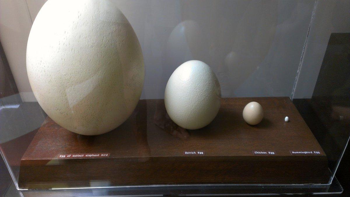Safari Ostrich Farm   The biggest egg in the world  Ostrich Egg Size Compared To Chicken Egg