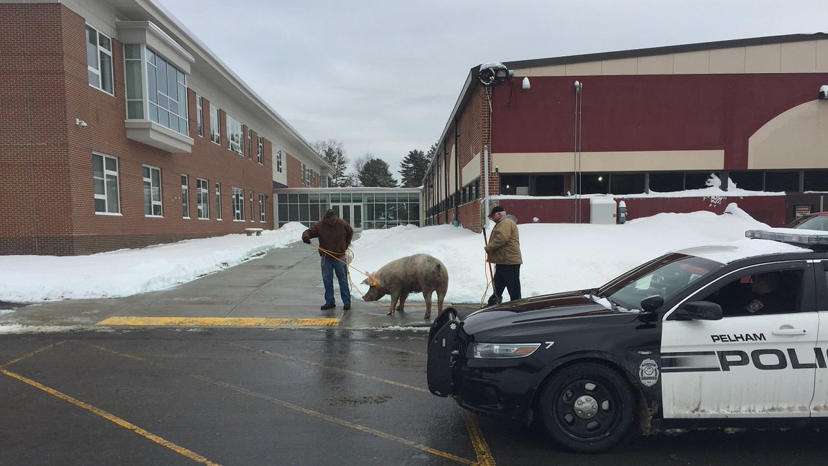Pig escapes farm and shows up at NH polling place