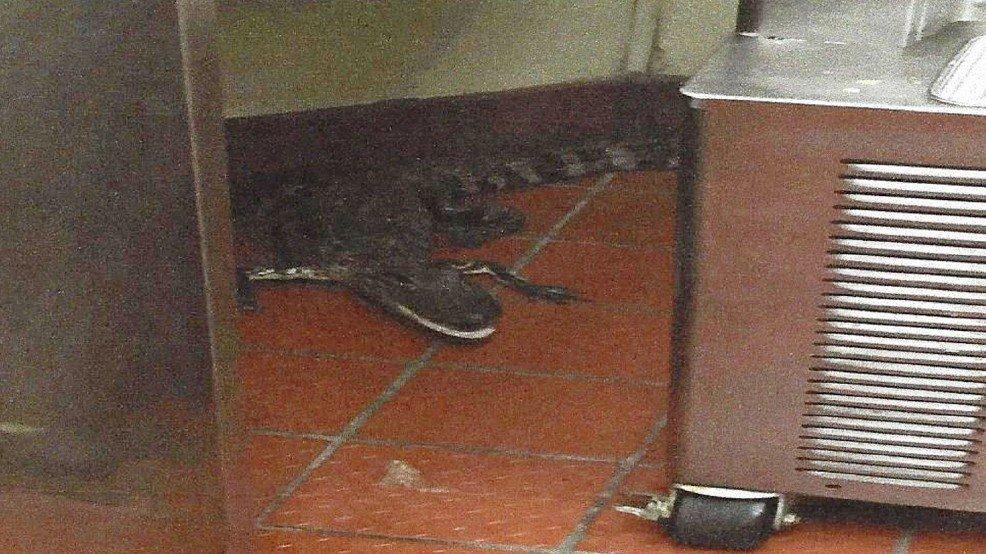 Man allegedly throws alligator through Wendy's drive-thru window
