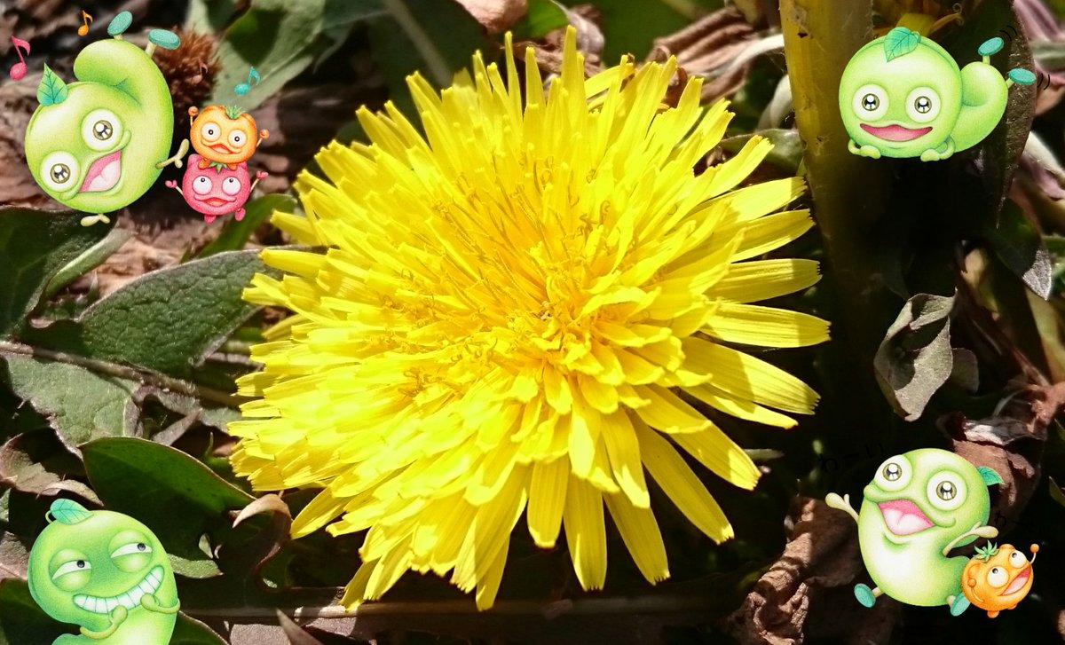 強風にあおられながら サイクリングしてたら 春発見✨٩(*˙︶˙*)۶ たんぽぽ咲いてた~♪  まだこのコだけでしたが そのうちたくさん咲きますね♪  本日もたくさん感謝です✨😉