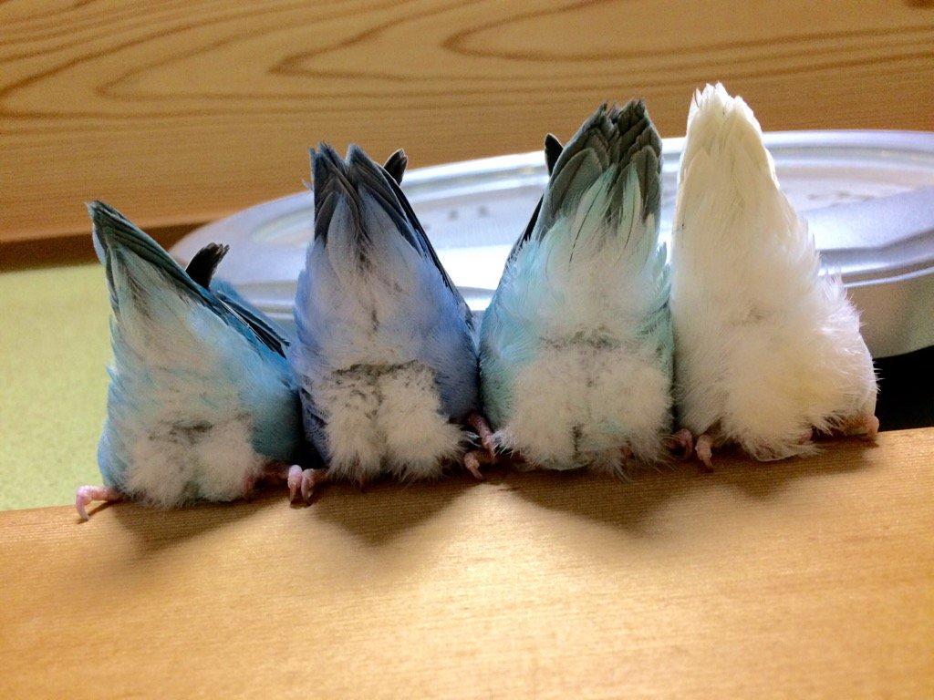 残留組+ブルーちゃんの11月雛たちは、いつも頭隠して尻隠さず(^◇^;)綺麗なもふちり見せてくれます(≧∇≦) pic.twitter.com/1KLfSXNbn2