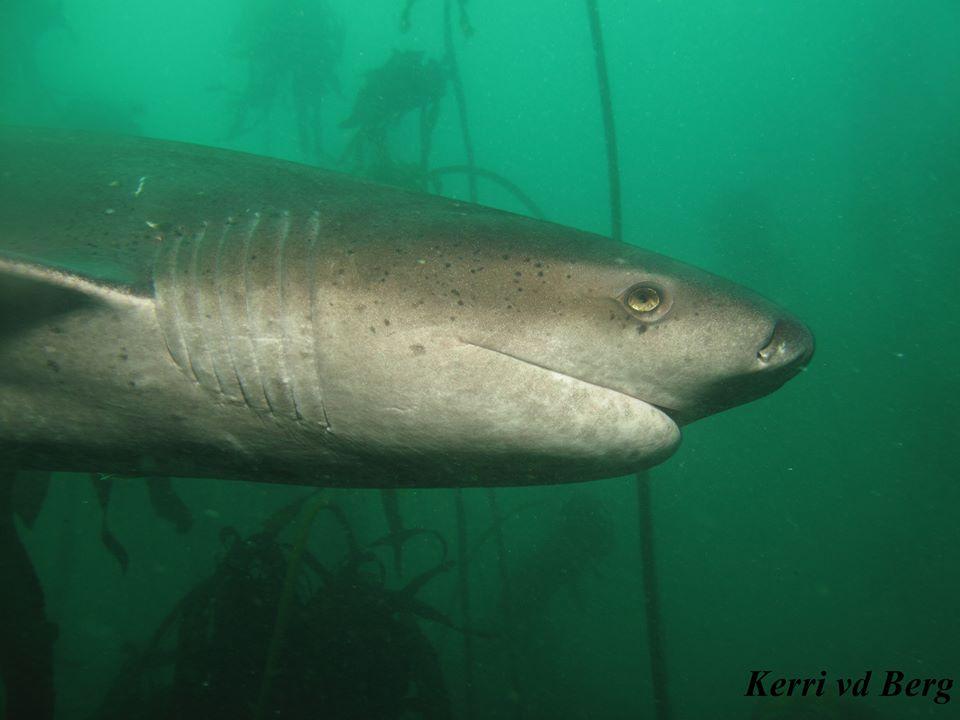 Seven gill cowshark #scubadiving #Sharks #cowshark #CapeTown<br>http://pic.twitter.com/b8RocjoQhS