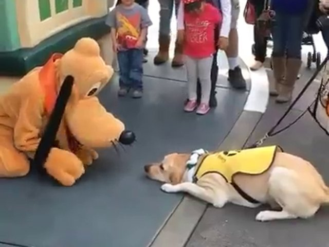 WATCH: Guide dog can't contain excitement after meeting Pluto at Disney
