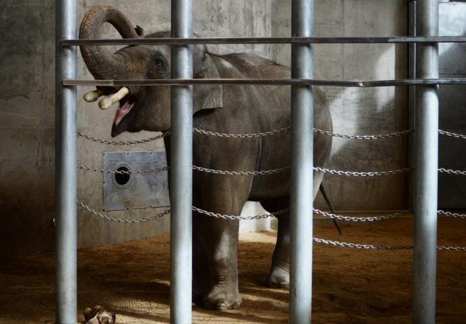 @DenverZoo develops advanced technology to repair elephant tusks -