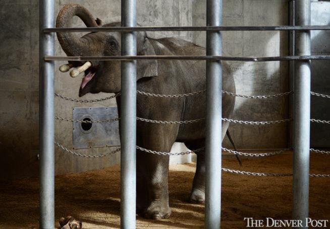 @DenverZoo develops advanced technology to repair elephant tusks by @ehernandez