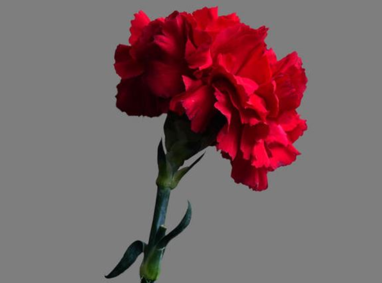Student buys 900 Valentine's Day carnations, one for each girl at school