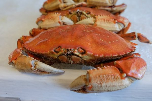 State officials say commercial Dungeness crab season could open as soon as late next week.