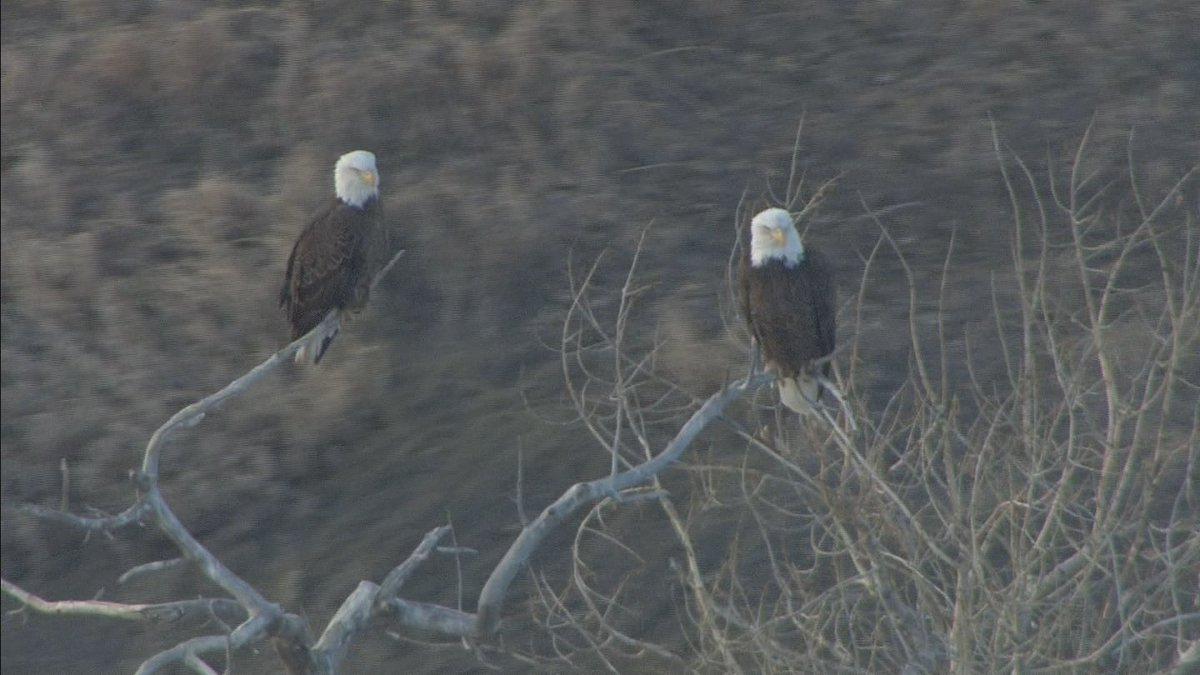 I spy eagles at Standley Lake! Copter 4 just found 'em in the tree. 4wx cowx wildlife