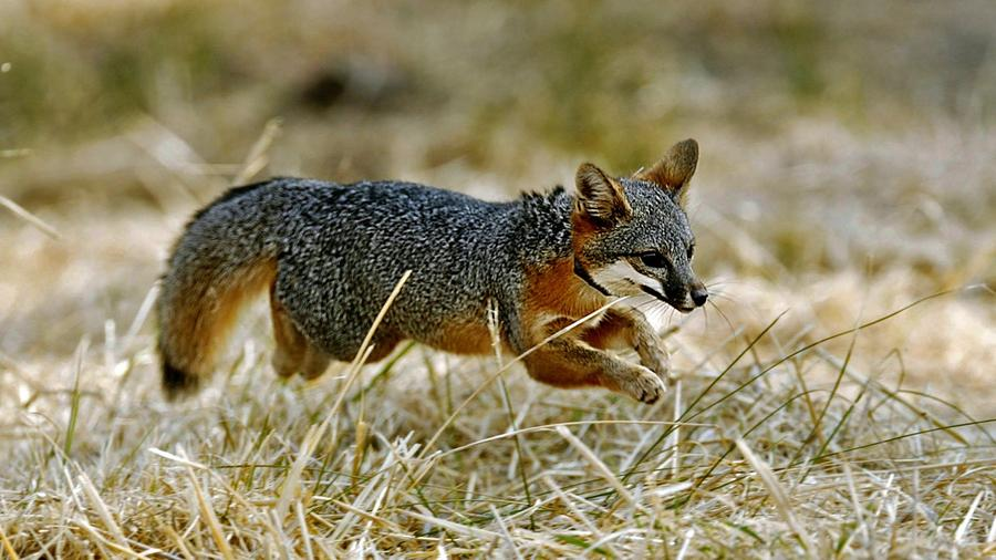 These foxes are doing so well officials want to take them off the endangered species list